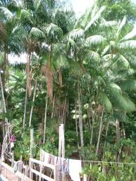 ASSAI TREE