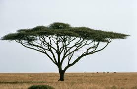 ACACIA TREE