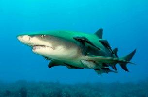 SHARK PUPS