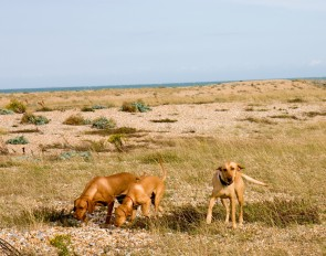 hunting-dogs