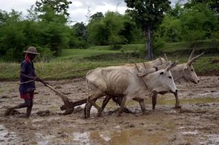 oxen1