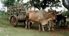 oxen3