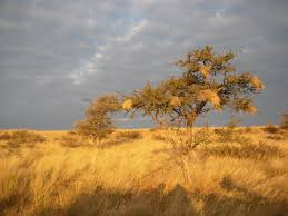 dry grass - African savannah